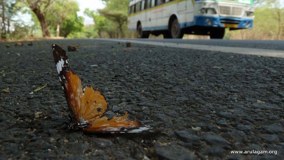 road_kills_common_tiger_butterfly